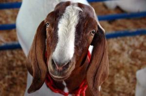 Boer Goat at the Fair