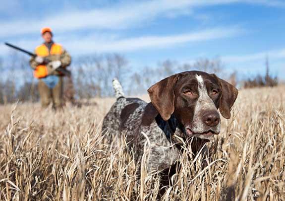 Maine Hunting Dog