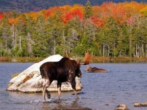 Maine Moose Watching Tours