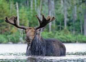 Maine Bull Moose