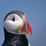 Atlantic-Puffin-Close-Up