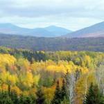 Birches---Rangeley-Maine