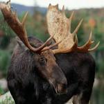 Fall-Bull-Moose