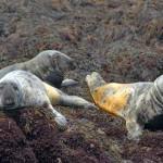 Gray-Seals