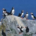 Machias-Seal-Island