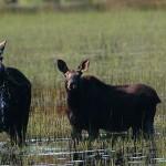 Moose-feeding-in-a-bog