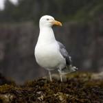 Sea-Gull---Acadia-Natonal-Park