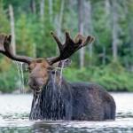 Smiling-Bull-Moose