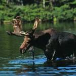 Swimming-Bull-Moose