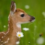 Whitetail-Deer-Fawn