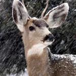 Whitetail-Deer---Winter