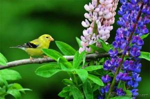 Maine Yellow Finch